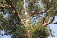 eucalyptus-tree-peace-garden