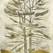 Golden Pine thumbnail